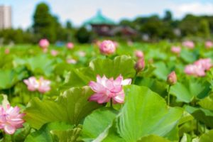 上野不忍池の蓮