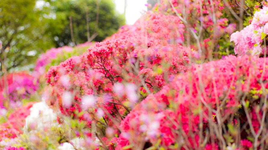 根津神社の「文京つつじまつり」の最寄り駅・見頃・おすすめのランチ