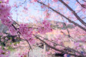 第30回河津桜まつり