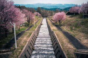 岩木山のオオヤマザクラ桜並木